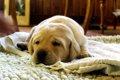 犬の肺炎の正しい知…の画像