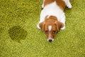 犬の尿が多くなる原…の画像