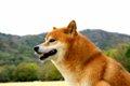 柴犬は室内飼いと外…の画像