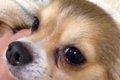 犬の目やにと病気の…の画像