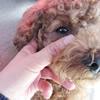 愛犬の涙やけ、対策…の画像
