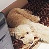 高齢の小型犬がなり…の画像