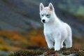 ロシア犬の魅力!大…の画像