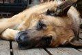 犬用心臓マッサージ…の画像