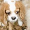 垂れ耳の犬は外耳炎…の画像
