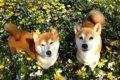 桜の絨毯をお散歩す…の画像
