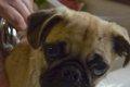 愛犬のシャンプーの…の画像