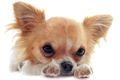 遺伝性疾患を持つ犬…の画像
