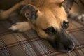 犬の胃捻転の正しい…の画像