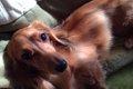 小型犬3種の魅力!ミ…の画像