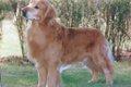 飼いやすい大型犬に…の画像