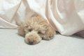 犬と一緒に寝るって…の画像