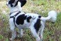 犬のハーネスの付け…の画像
