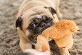 犬がおもちゃを噛む…の画像