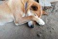 犬の膿皮症とは?最…の画像