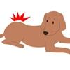 犬のヘルニアにはコ…の画像