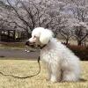 犬とお花見するとき…の画像