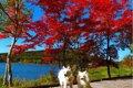 愛犬を連れて紅葉の…の画像