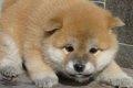 柴犬のもふもふ画像1…の画像