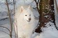 ロシアが原産国の犬…の画像