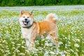 日本犬について!和…の画像