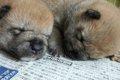 柴犬の特徴とその魅…の画像