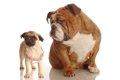 パグとブルドッグの…の画像