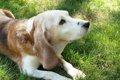 犬のボケは人が原因…の画像
