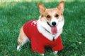 犬服のサイズの正し…の画像