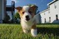 犬のケンネルコフ(…の画像