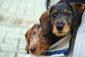 犬をベビーカー(カ…の画像