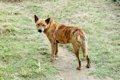 琉球犬を知っていま…の画像