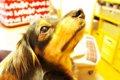 犬のおしっこ(トイ…の画像