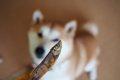 犬の健康おやつ「国…の画像