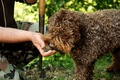 トリュフ犬とは 一…の画像