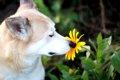 犬が好きな匂いと嫌…の画像