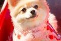 ポメラニアンの子犬…の画像