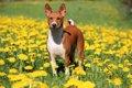 バセンジーという犬…の画像