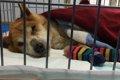 寝たきり状態の老犬…の画像
