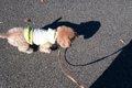 犬をノーリードで散…の画像
