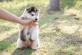 子犬の甘噛みを本気…の画像