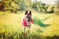 犬が多汗症になる原…の画像
