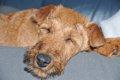犬の痴呆について予…の画像