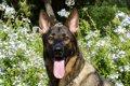 犬の舌が白い時は低…の画像