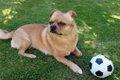パグのミックス犬10…の画像