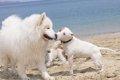 犬のヒートの時期と…の画像