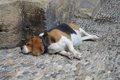 犬の腹水の原因につ…の画像