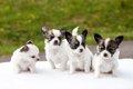 子犬が並ぶペットシ…の画像