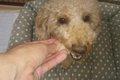 犬に梨は食べさせて…の画像