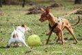 犬が散歩中に他の犬…の画像